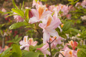 White-Pink Azalea